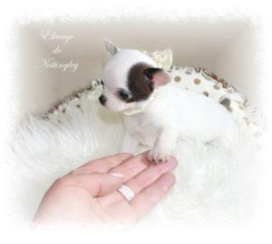 petit bébé chihuahua a adopter dans un bon élevage