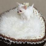 chiot deux mois chihuahua a l'adoption