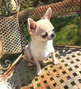 l'adoption d'un chihuahua adulte est possible à l'élevage de nottingley