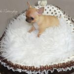 comment adopter un petit chien chihuahua