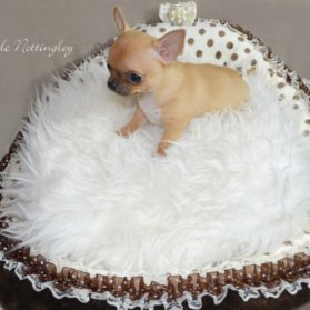 Adopter Un Chihuahua Adoption Dans Notre Elevage De Chihuahua