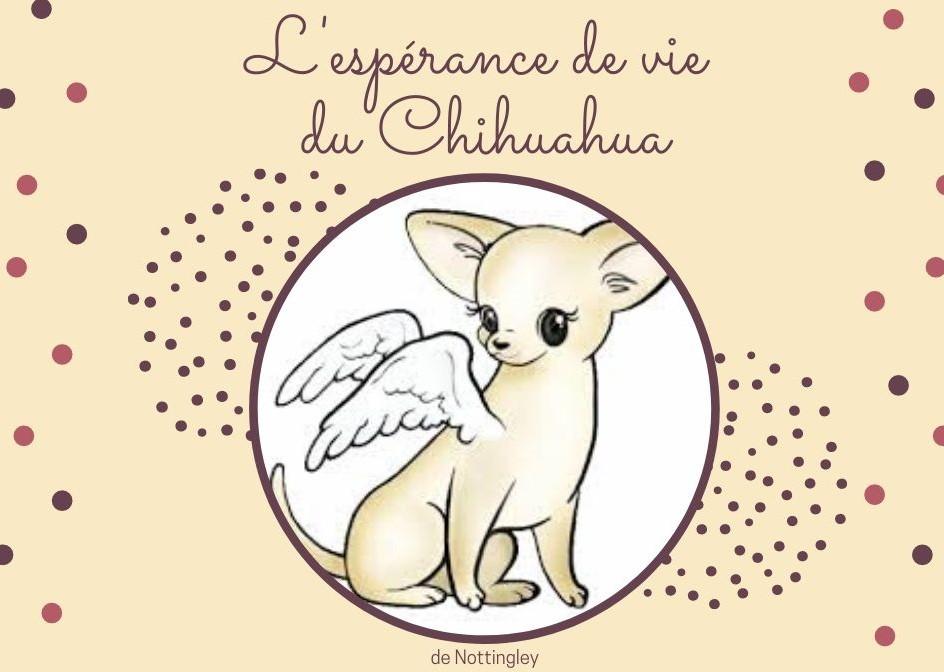 Lespérance De Vie Dun Chihuahua Elevage Chihuahua