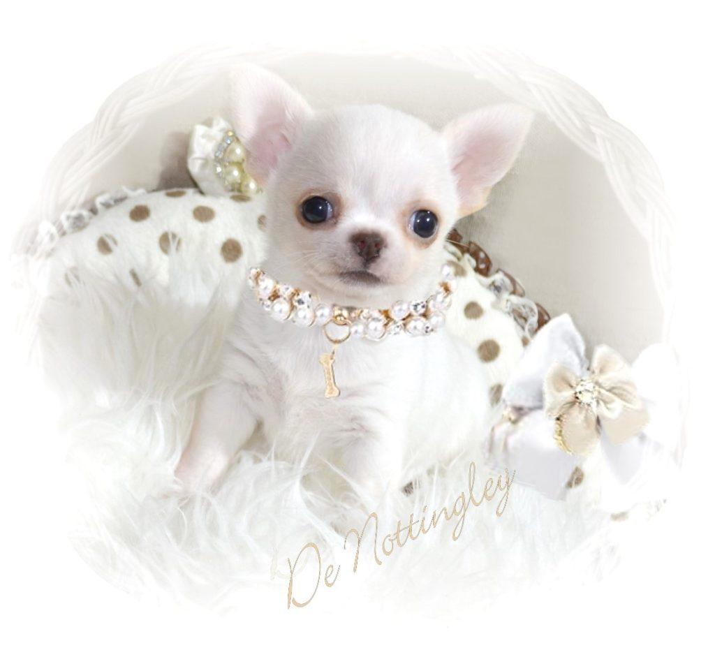 Eleveur De Chihuahua Vente De Chiot Chihuahua Lof Elevage De Nottingley
