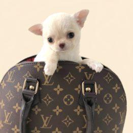 chihuahua dans un petit sac Vuitton
