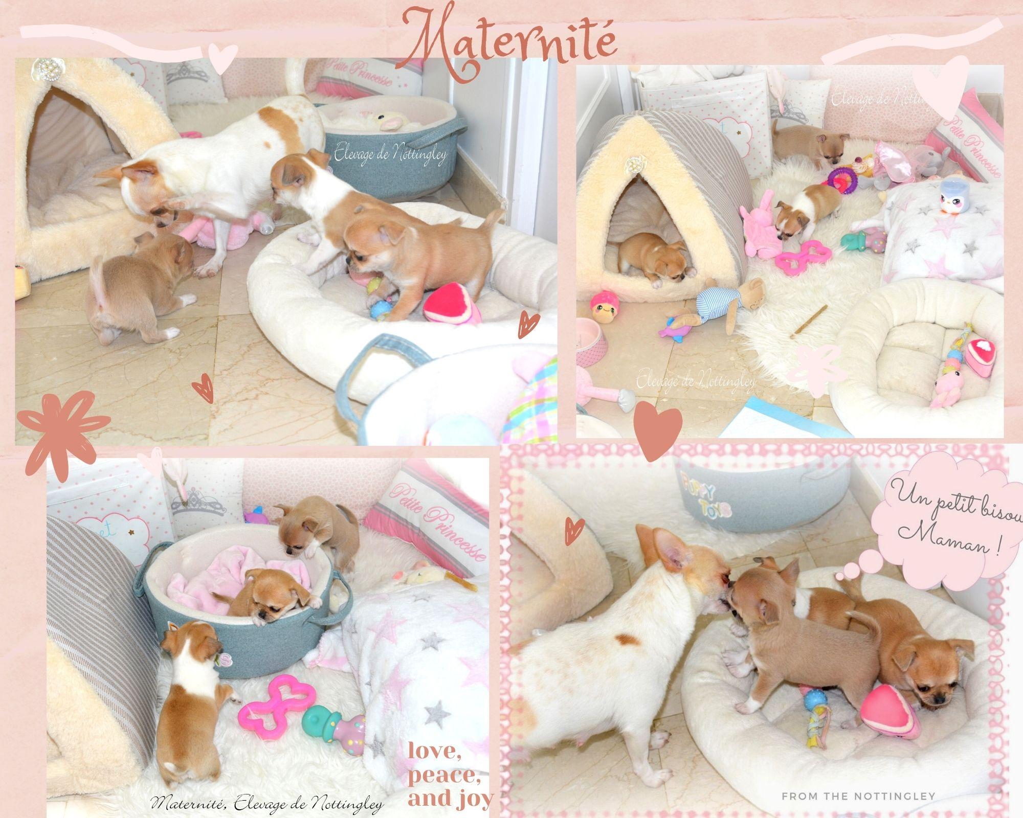 chiot chihuahua de nottingley en maternité du confort et beaucoup d'amour